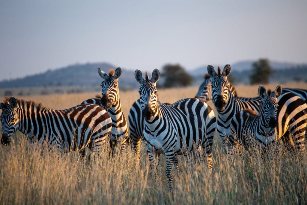 A herd of zebras in an open fields of Satara in the  kruger national park