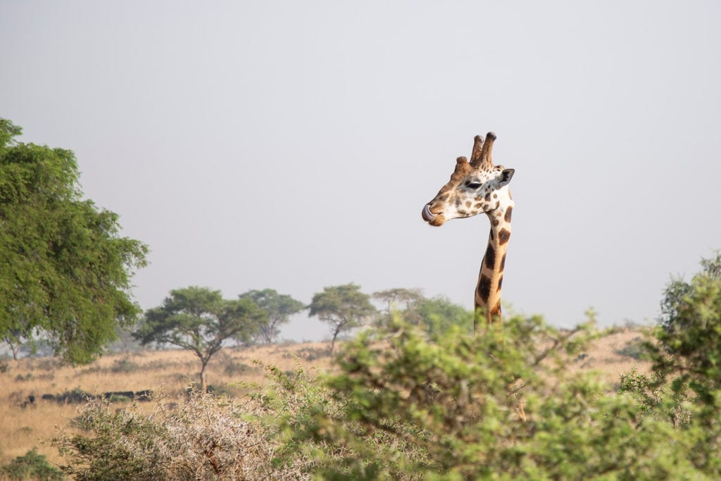 The height of a giraffe can truly be appreciated on foot in the kruger national park