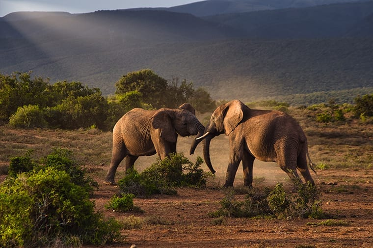 Two elephants fighting in the Kruger Park wilderness.