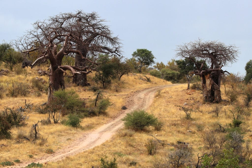 Unique to the Nyalaland wilderness trail is the large baobab concentration in the area.