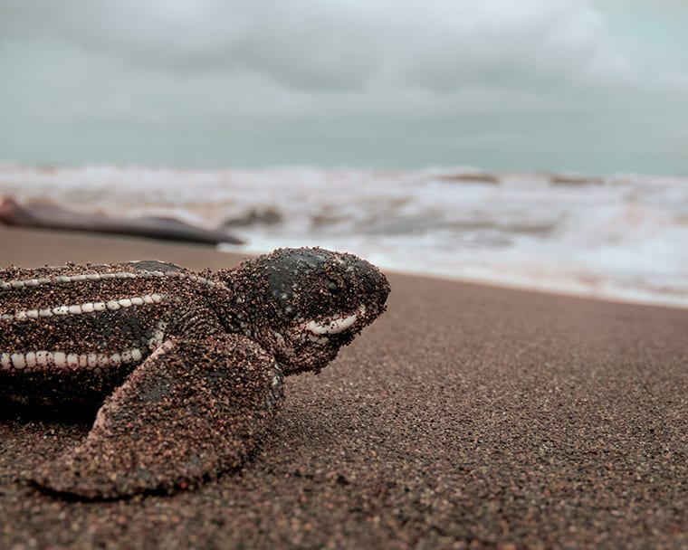 A leather back turtle hatchling heads for the sea.