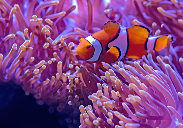 In the wild, clownfish form a symbiotic relationships with sea anemones.