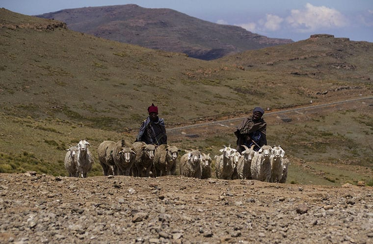 Two Shepherds with a her of sheep and Angora goats near Thabana Ntlenyana.