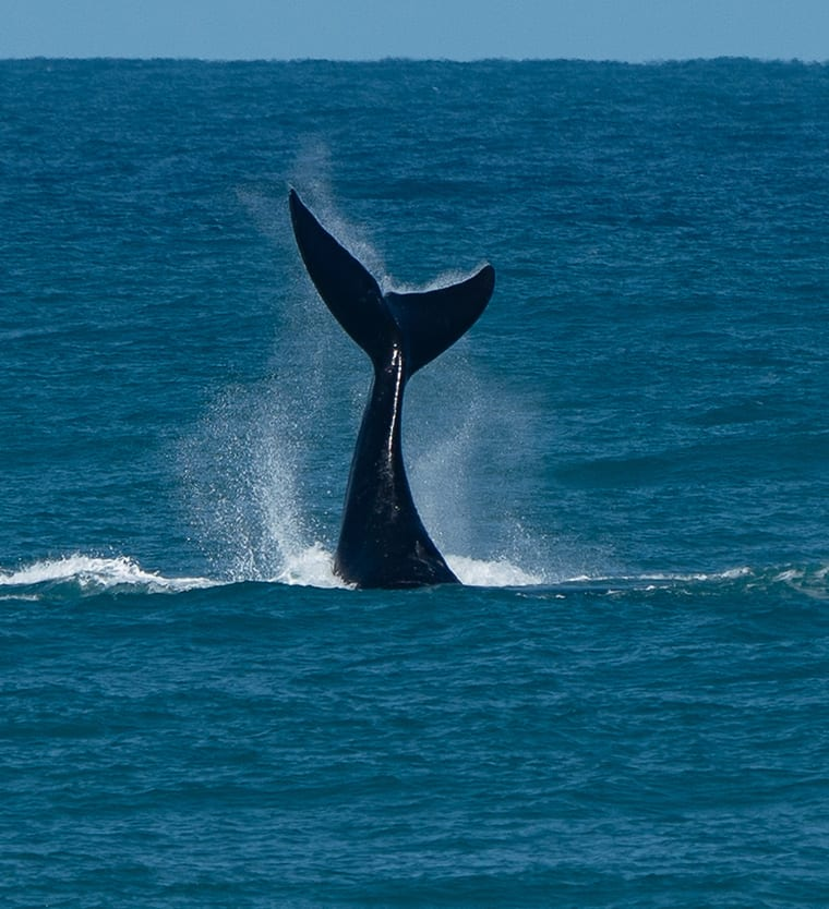 A southern right whale calf sailing.