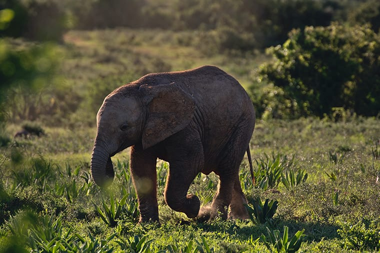 An Addo elephant calf, backlit by the early morning sun.